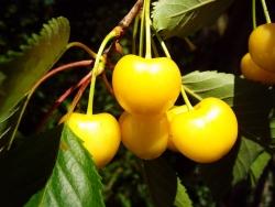 Kirschbaum - Dönissens Gelbe Knorpelkirsche Prunus avium