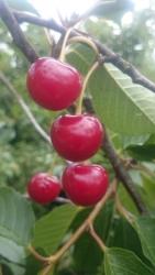Kirschbaum - Ludwigs Frühe Prunus avium