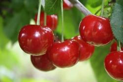 Kirschbaum - Morellenfeuer Prunus avium