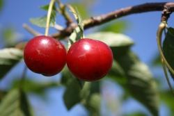 Kirschbaum - Morina® moniliaresistent, Colt Prunus avium
