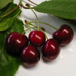 Kirschbaum - Regina Prunus avium