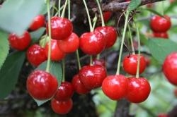 Kirschbaum - Schattenmorelle Prunus avium