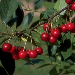 Kirschbaum - Vowi , Colt Prunus avium