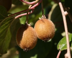 Kiwi - Hayward, weiblich Actinidia arguta