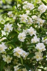 Kletter Jasmin - Solanum jasminoides