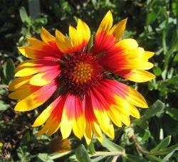 Kokadenblume Gaillardia im 19 cm Topf