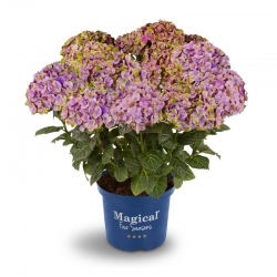 Magical Coral® Hortensie