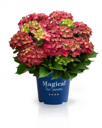 Magical Ruby® Tuesday Hortensie