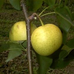 Nashi Birnbaum - Hakko Pyrus Pyrifolia
