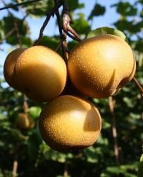 Nashi Birnbaum - Kosui Pyrus Pyrifolia