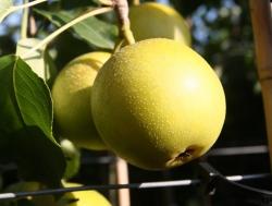 Nashi Nijisseiki Birnbaum - Kosui Pyrus Pyrifolia