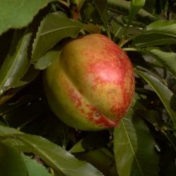 Nektarinenbaum - Rhonegold® Pr. Persica var. Nucipersica
