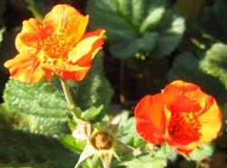 Nelkenwurzen Geum Hybrid Rot im 19 er Topf