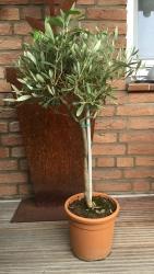 Olivenbaum Stämmchen winterhart Olea Europaea