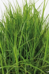 Palmwedel Segge Carex muskingumensis 'Little Midge'