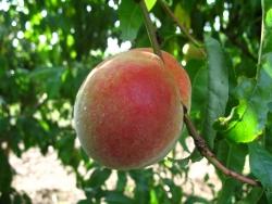 Pfirsichbaum - Anneliese Rudolph® Prunus persica