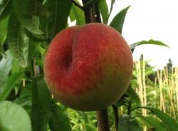 Pfirsichbaum - Benedicte® Prunus persica