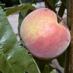 Pfirsichbaum - Früher Roter Ingelheime® Prunus persica