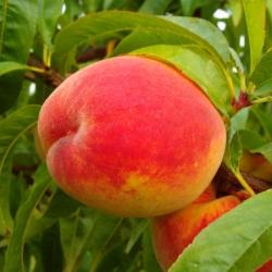 Pfirsichbaum - Kernechter von Vorgebirge Prunus persica