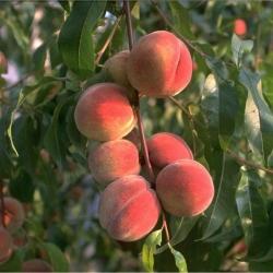 Pfirsichbaum - Rekord von Alfter Prunus persica