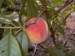 Pfirsichbaum - South Haven® Prunus persica