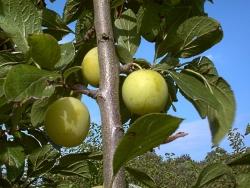 Pflaumenbaum - Gr. Grüne Reneklode Prunus domestica