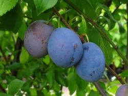 Pflaumenbaum - Hauszwetsche Prunus domestica