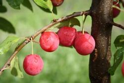 Pflaumenbaum - Kirschpfaume Prunus domestica