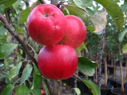 Pflaumenbaum - Nancy Mirabelle  Prunus domestica