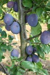 Pflaumenbaum - Ortenauer Prunus domestica