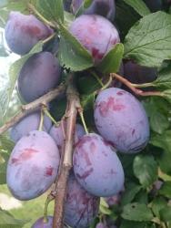 Pflaumenbaum - Ruth Gerstetter Prunus domestica