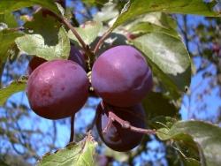 Pflaumenbaum - The Czar Prunus domestica