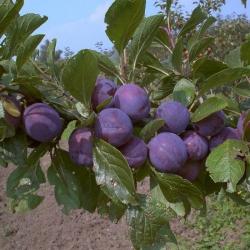 Pflaumenbaum - Wangenheims Frühzwetsche  Prunus domestica