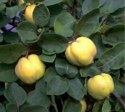 Quittenbaum - Konstantiner Apfelquitte Cydonia oblonga