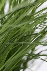 Rasen Schiele Deschampsia cespitosa 'Goldschleier'