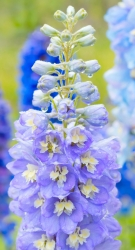 Rittersporne Delphinium 2 er Set Lavendelfarbend