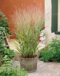 Rutenhirse Panicum virgatum 'Shenandoah '
