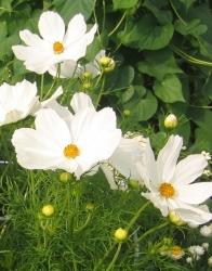 Schmuckkörbchen Cosmos bipinnatus Weiss 19 er Topf