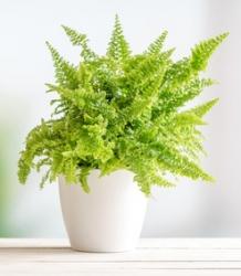 Schwertfarn Green Lady - Nephrolepis exaltata
