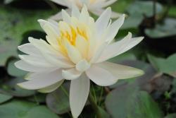"Seerose weiß Nymphaea ""Hever White""(Hermine)"