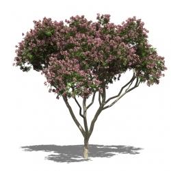 Seidenbaum - Albizia julibrissin