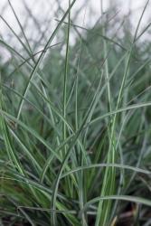 Silber Chinaschilf Miscanthus sinensis 'Adagio'