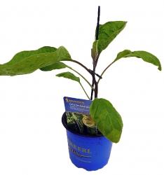 Solanum melongena Faselis F1 Veredelt Türkische Aubergine