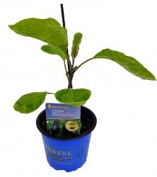 Solanum melongena Madonna F1 Aubergine Veredelt