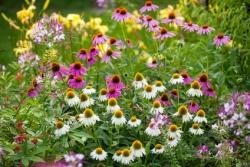 Sonnenhut Echinacea purpurea Cheyenne Spirit Sonnenhut In Farben