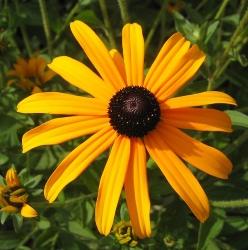 Sonnenhut Rudbeckia fulgida 'Goldsturm'
