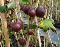 Stachelbeere - Captivator®, rot Ribes uva crispa