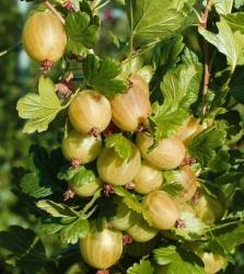 Stachelbeere - Hinnonmäki® gelb Ribes uva crispa