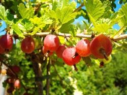 Stachelbeere - Hinnonmäki® rot Ribes uva crispa