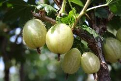 Stachelbeere - Invicta®, weiß Ribes uva crispa